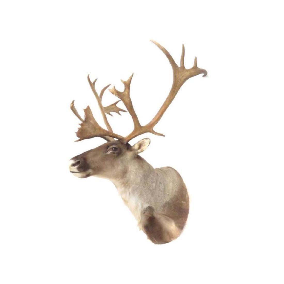 """Caribou Shoulder Trophy Mount. Height 48""""; Width 36"""""""