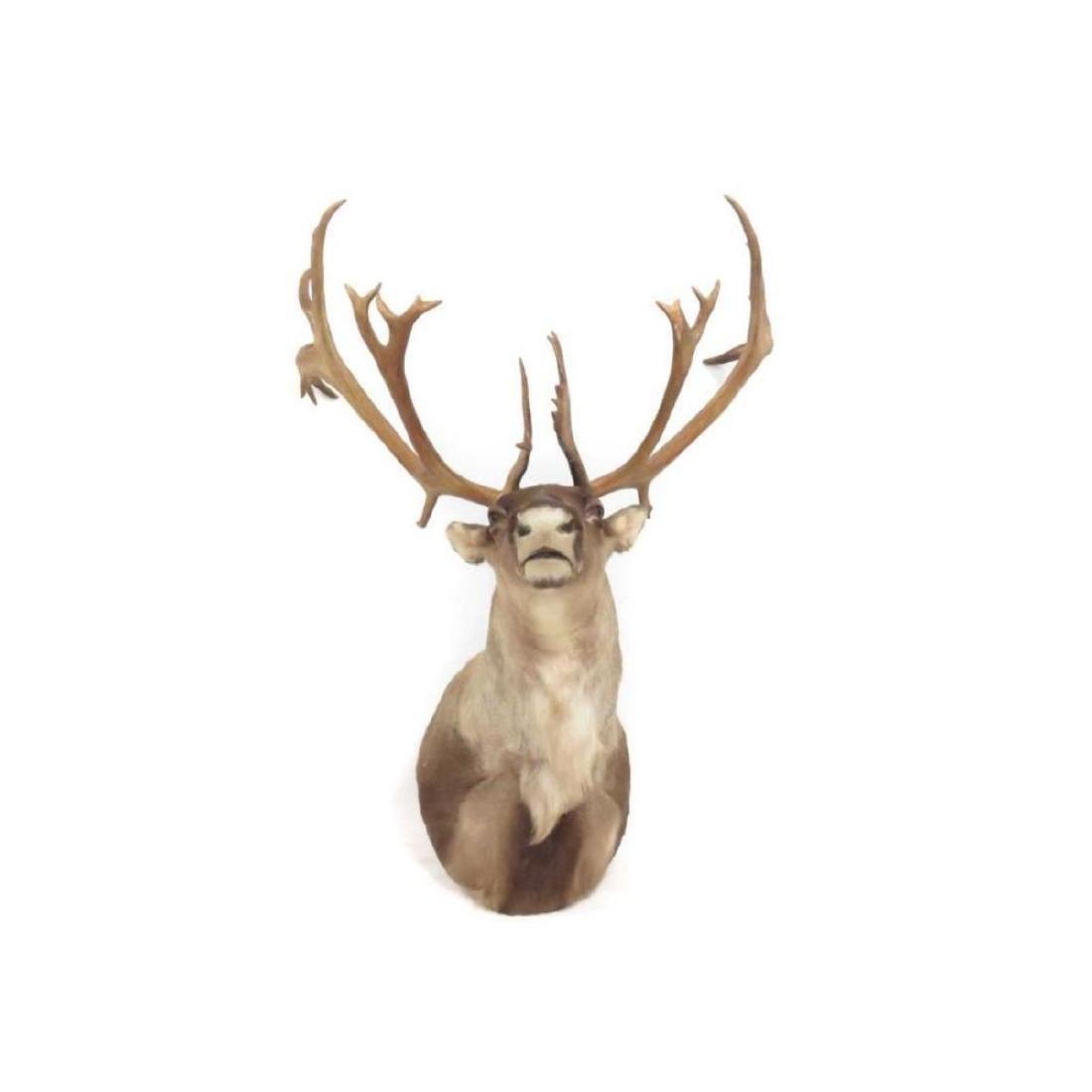 """Caribou Shoulder Trophy Mount. Height 48""""; Width 36"""" - 2"""