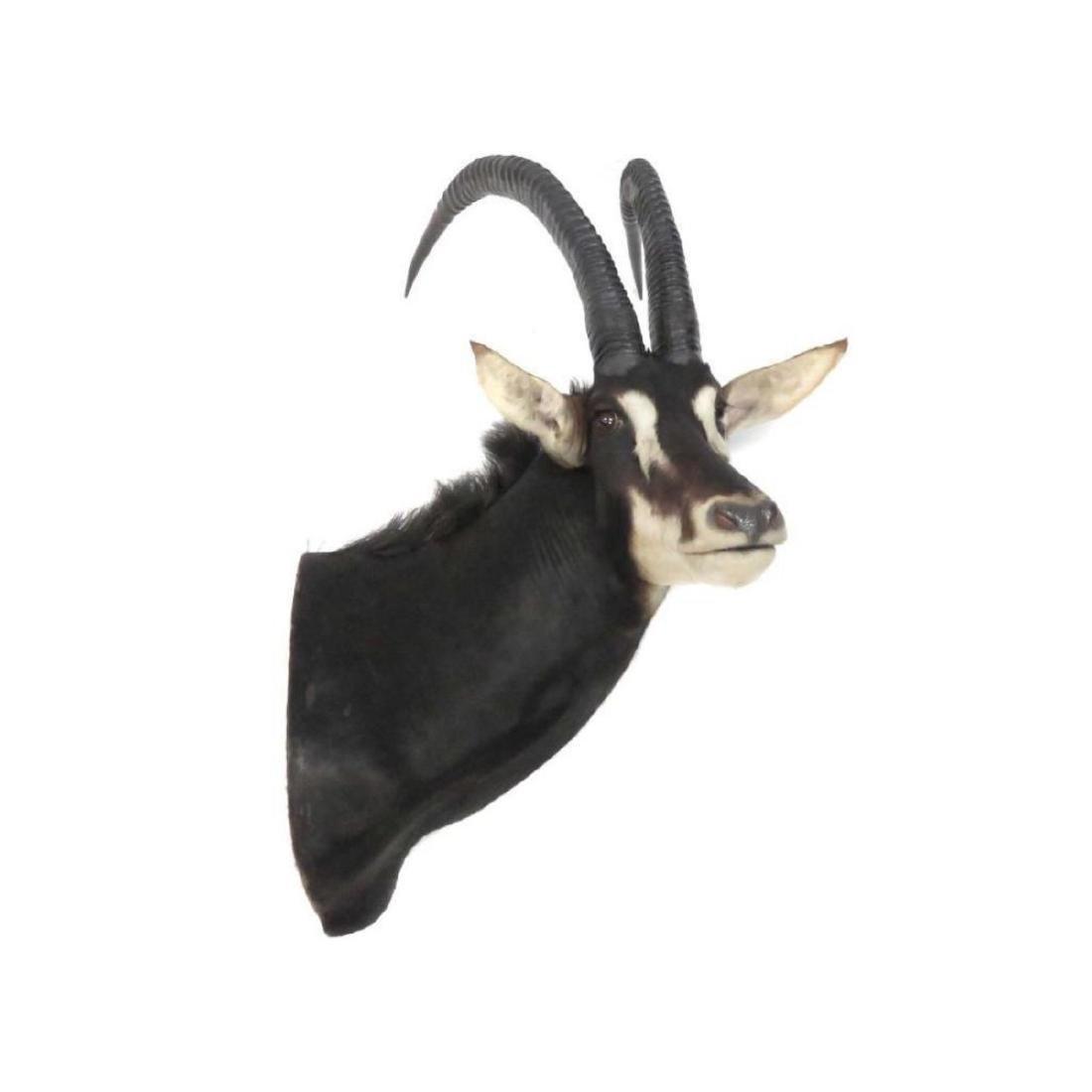 Impressive Sable Antelope Shoulder Trophy Mount - 2