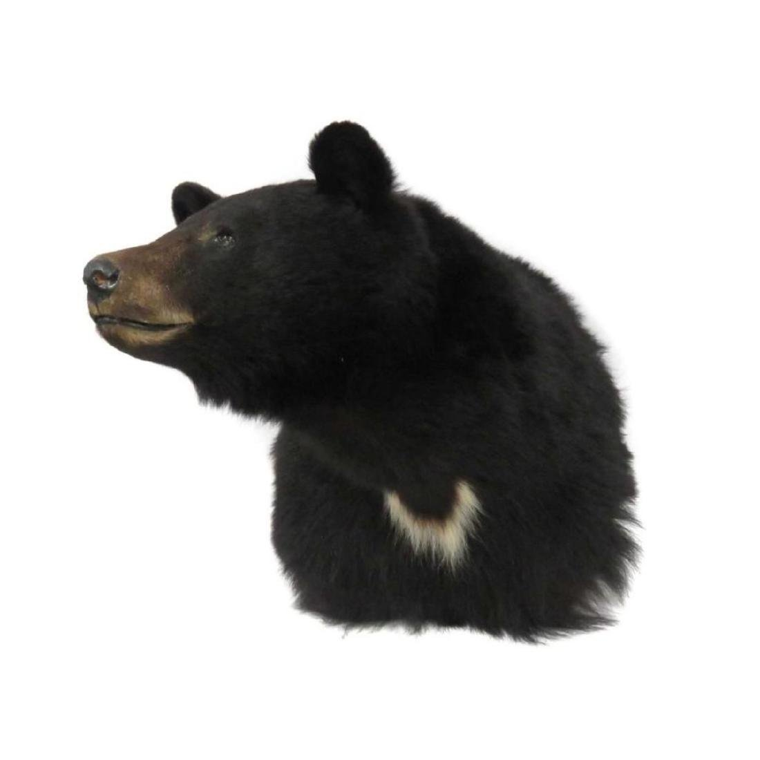"""Black Bear Shoulder Trophy Mount. Height 22"""""""