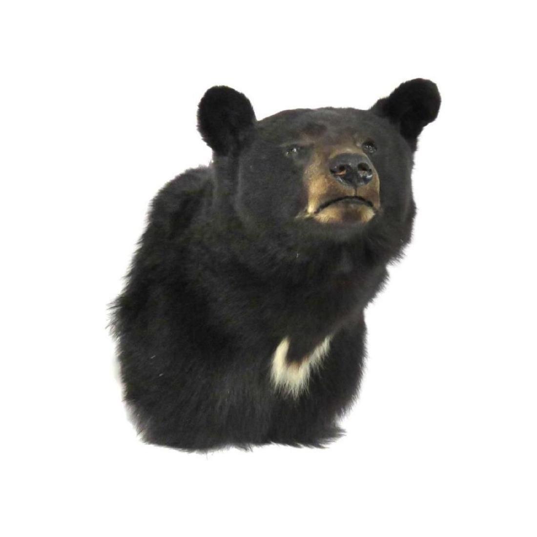 """Black Bear Shoulder Trophy Mount. Height 22"""" - 2"""
