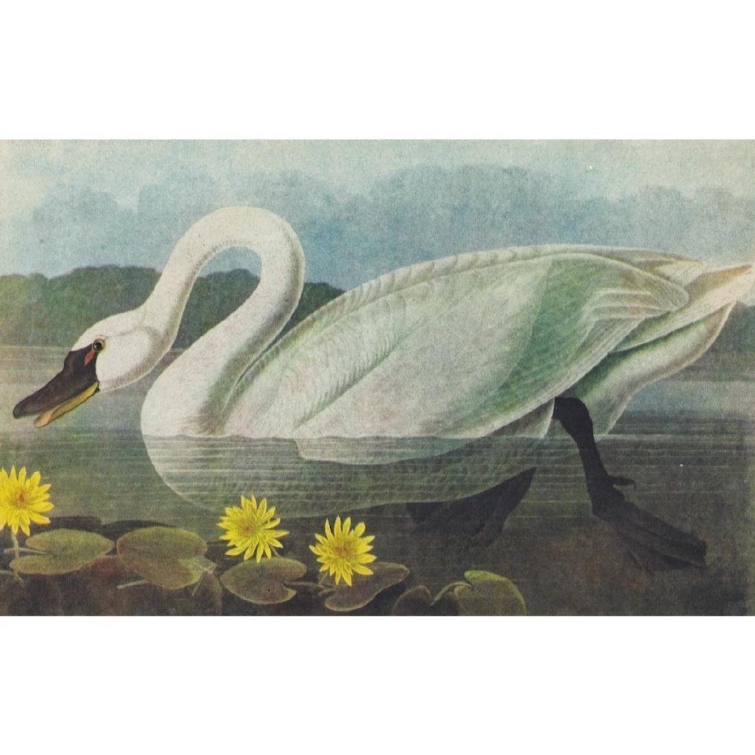 Mid 20thc Audubon Print, Whistling Swan