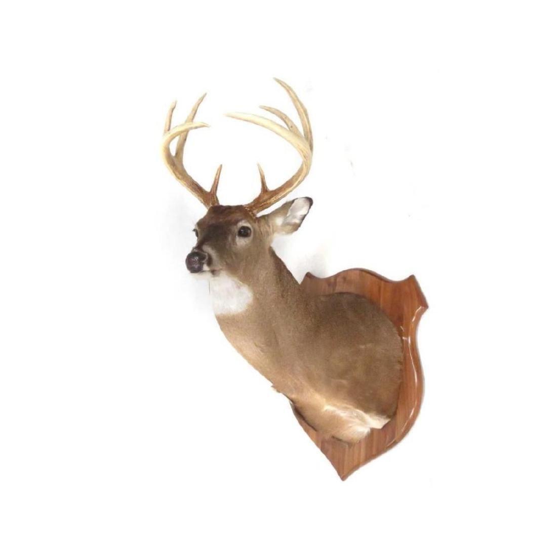 Common Red Buck Deer Shoulder Trophy Mount (8 Pt).