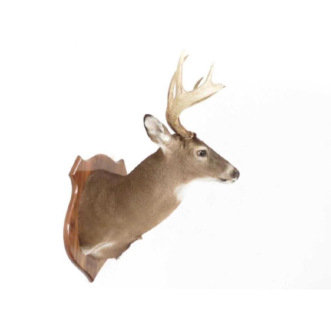 Common Red Buck Deer Shoulder Trophy Mount (8 Pt). - 2