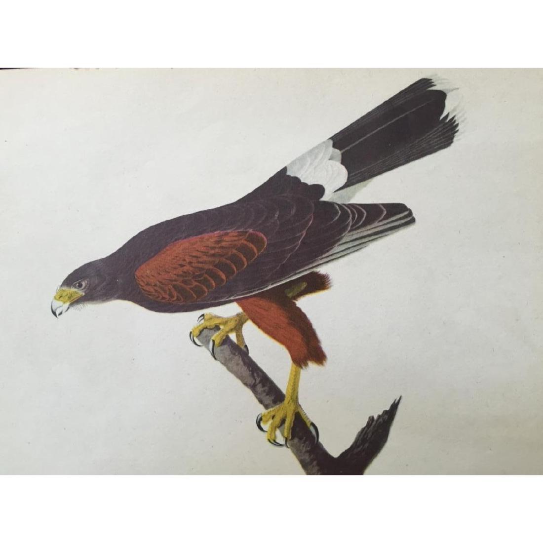 c1946 Audubon Print, # 392 Harris's Hawk