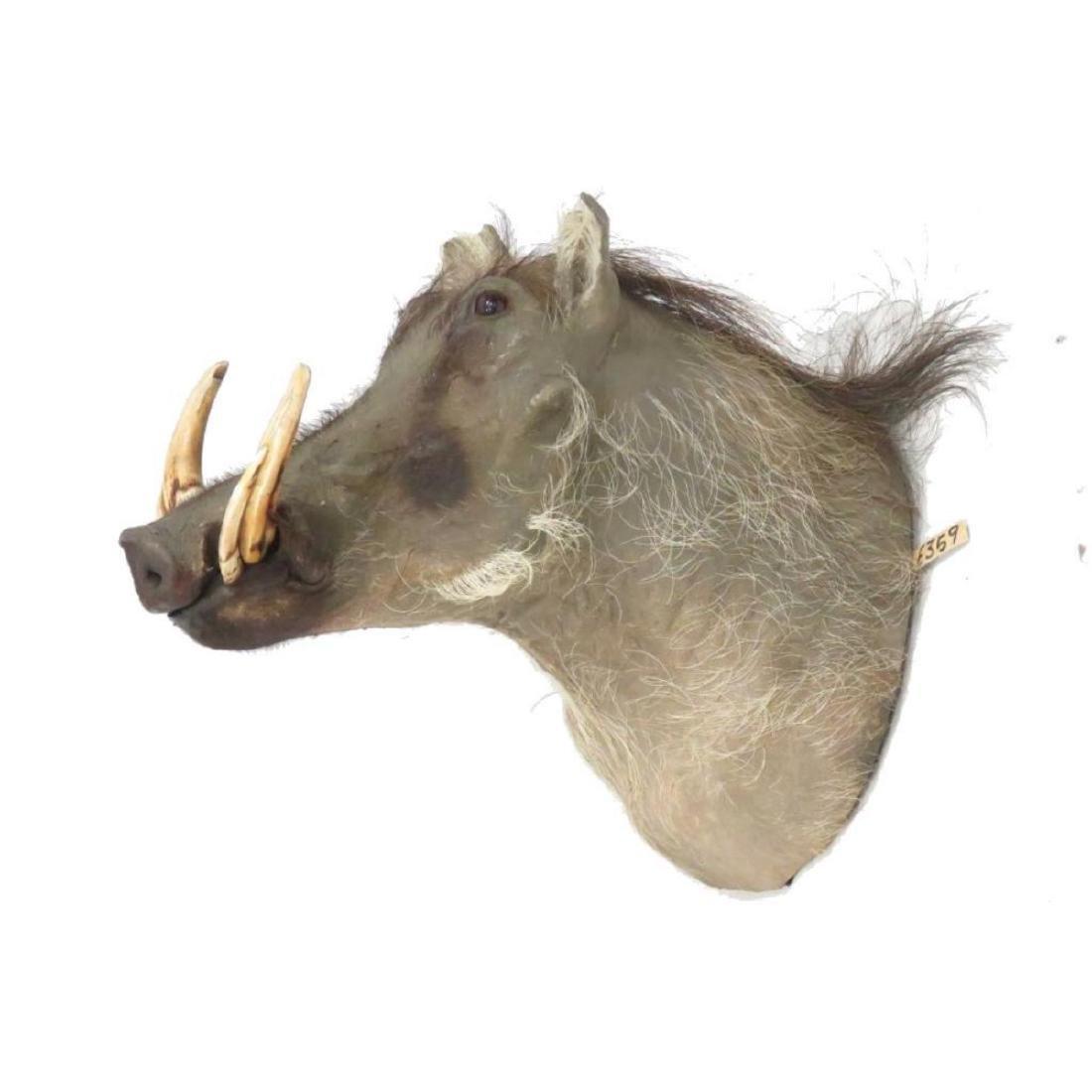Warthog Head Trophy Mount