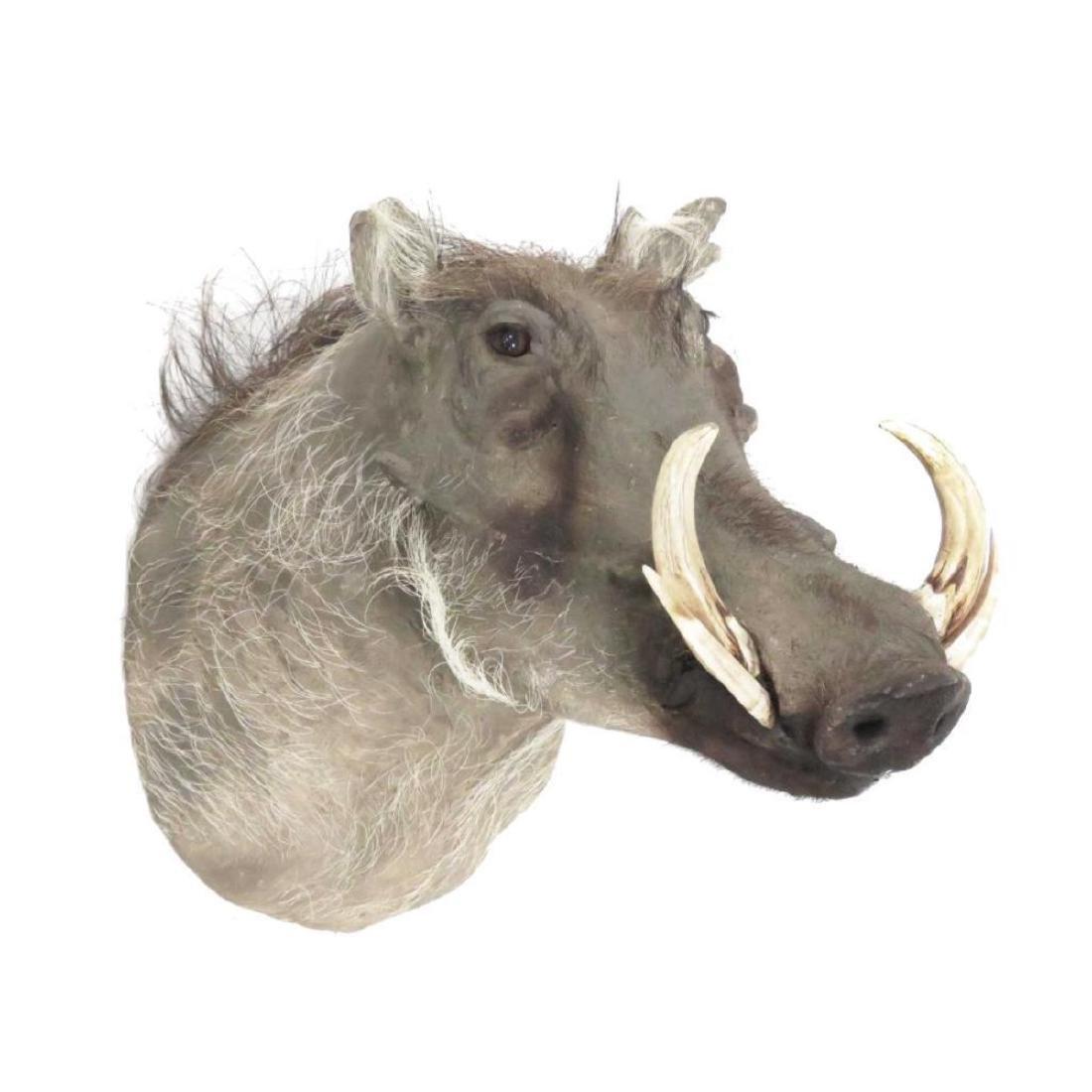Warthog Head Trophy Mount - 2