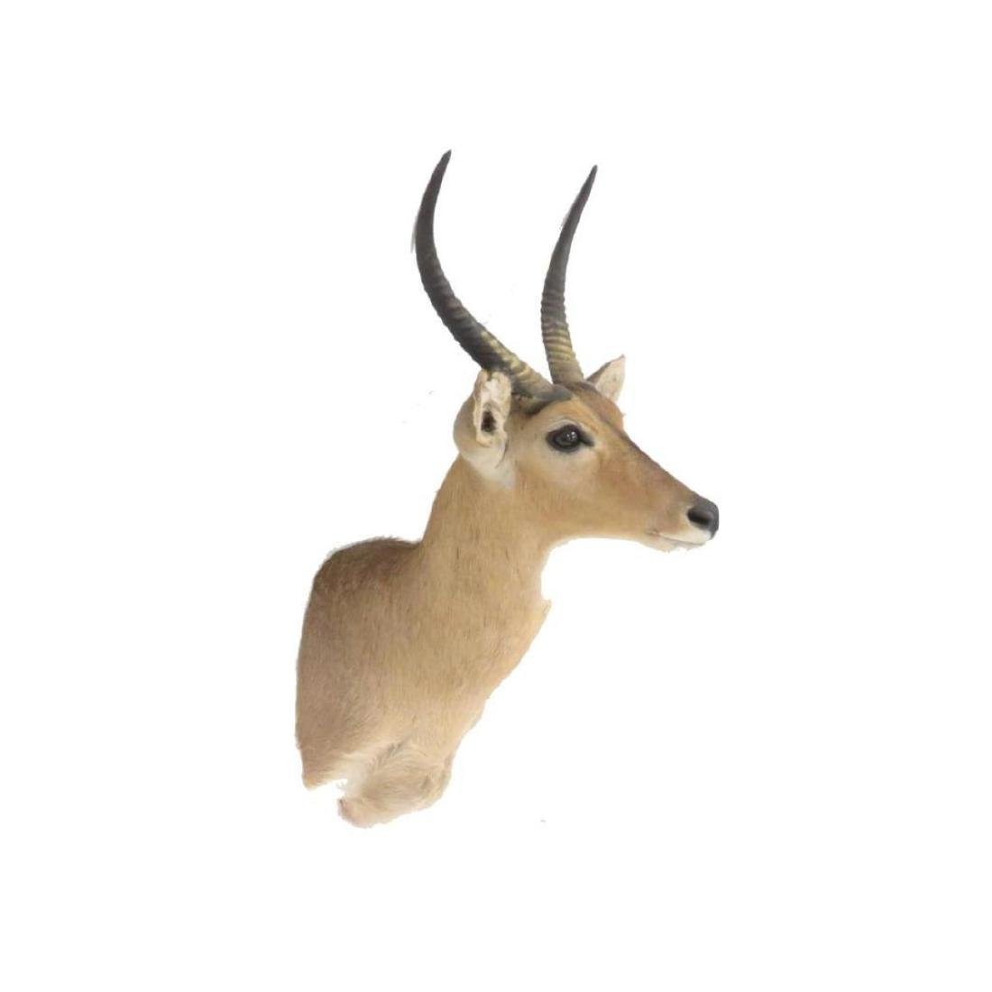 "Impala Shoulder Trophy Mount. Height 39""; Antler/length - 2"