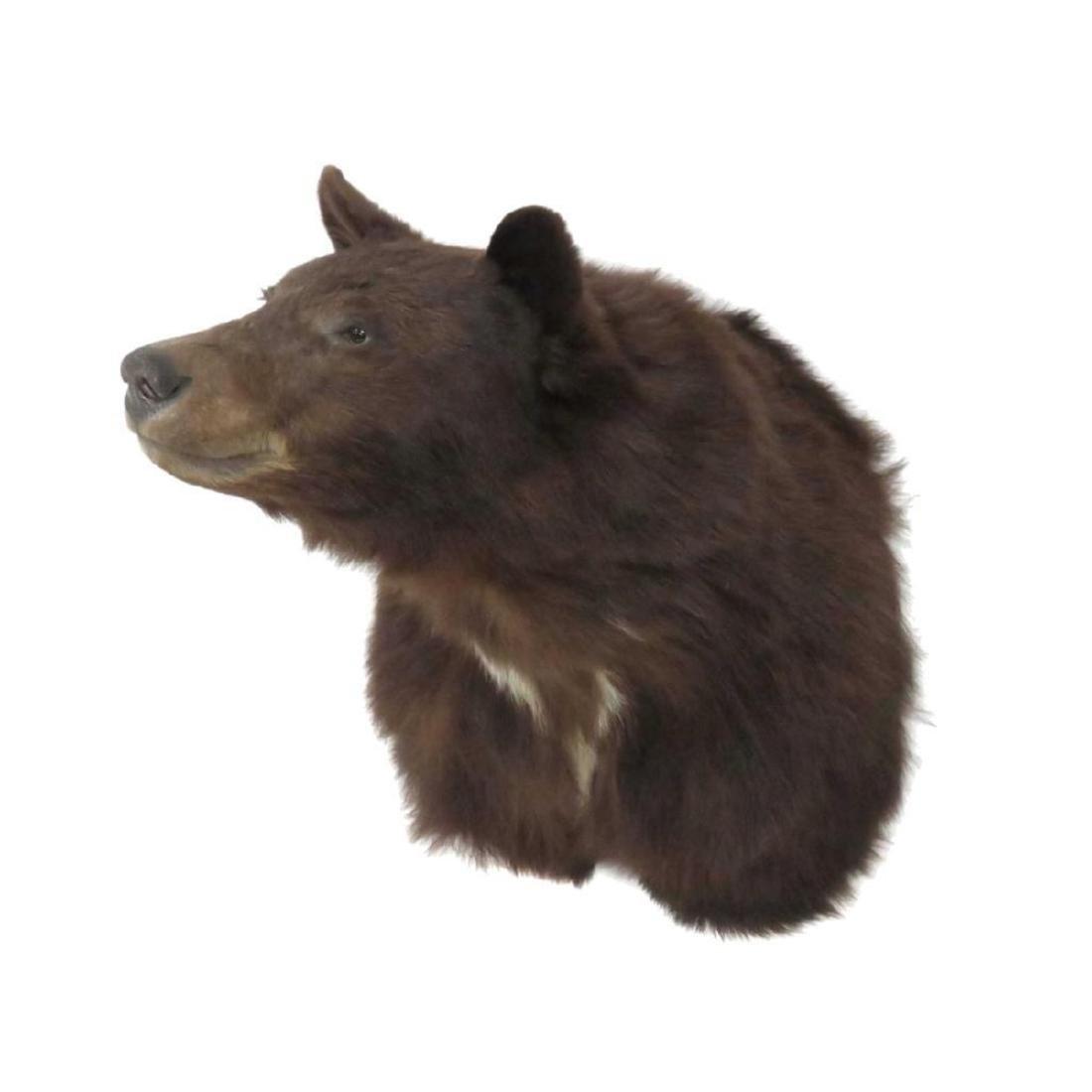Brown Bear Shoulder Trophy Mount