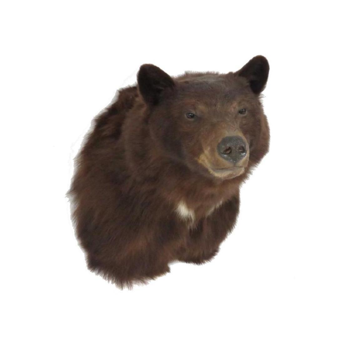 Brown Bear Shoulder Trophy Mount - 2