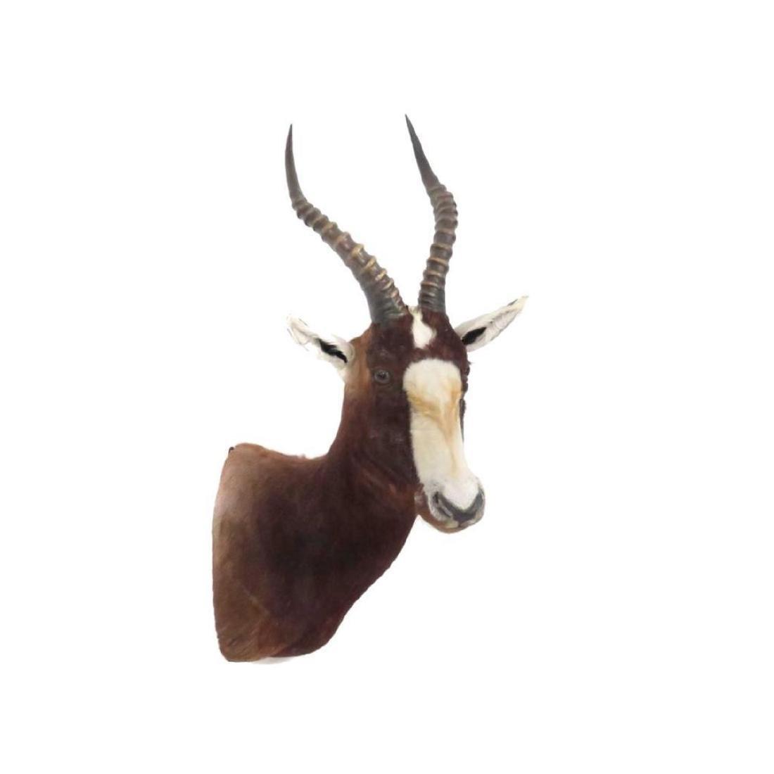 """Blesbok Shoulder Trophy Mount. Height 34"""" - 2"""