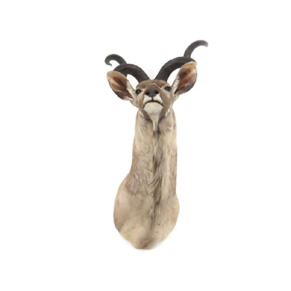 Impressive Greater Kudu Shoulder Trophy Mount. Height