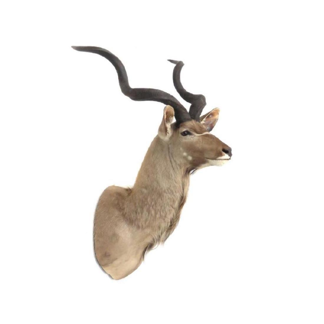 Impressive Greater Kudu Shoulder Trophy Mount. Height - 2