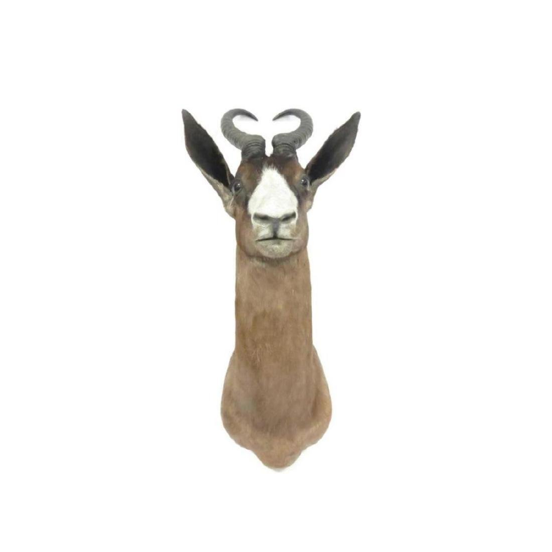 "Spring Bok Shoulder Trophy Mount. Height 28"" - 2"