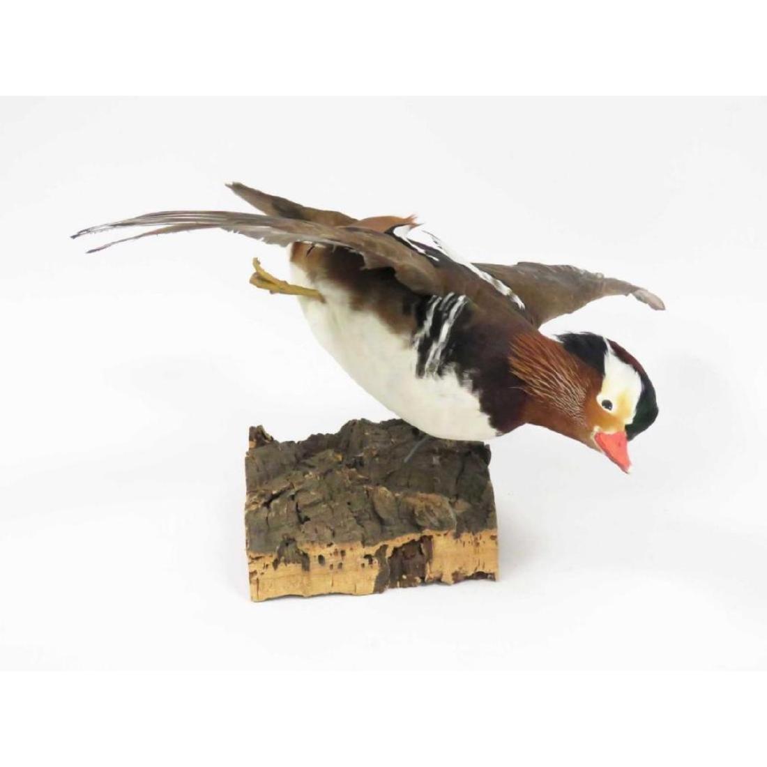 Mandarin Duck In Flight Trophy Wall Mount - 2