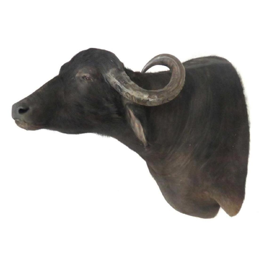 Water Buffalo Shoulder Trophy Mount - 2