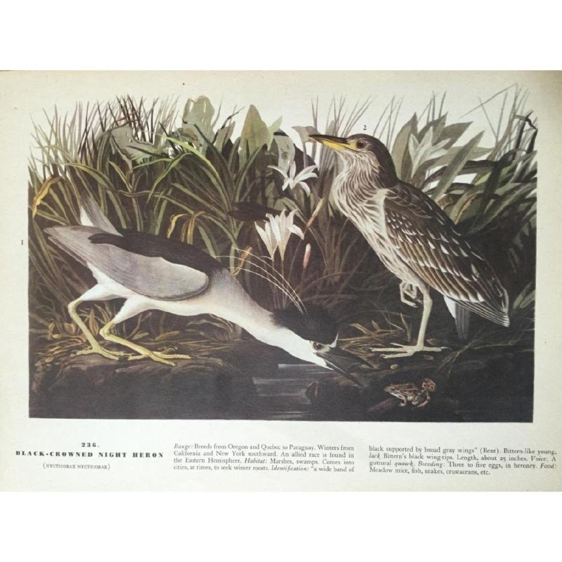 Audubon Print, #236 Black-Crowned Night Heron - 2