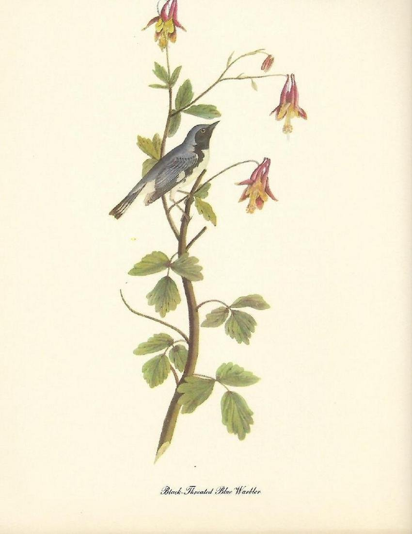 c1950 Audubon Print, Black Throated Blue Warbler