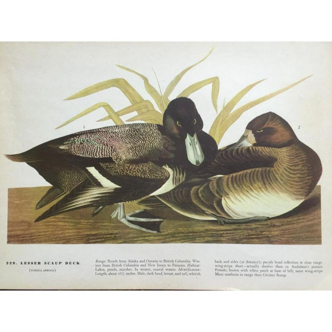 c1946 Audubon Print, #229 Lesser Scaup Duck