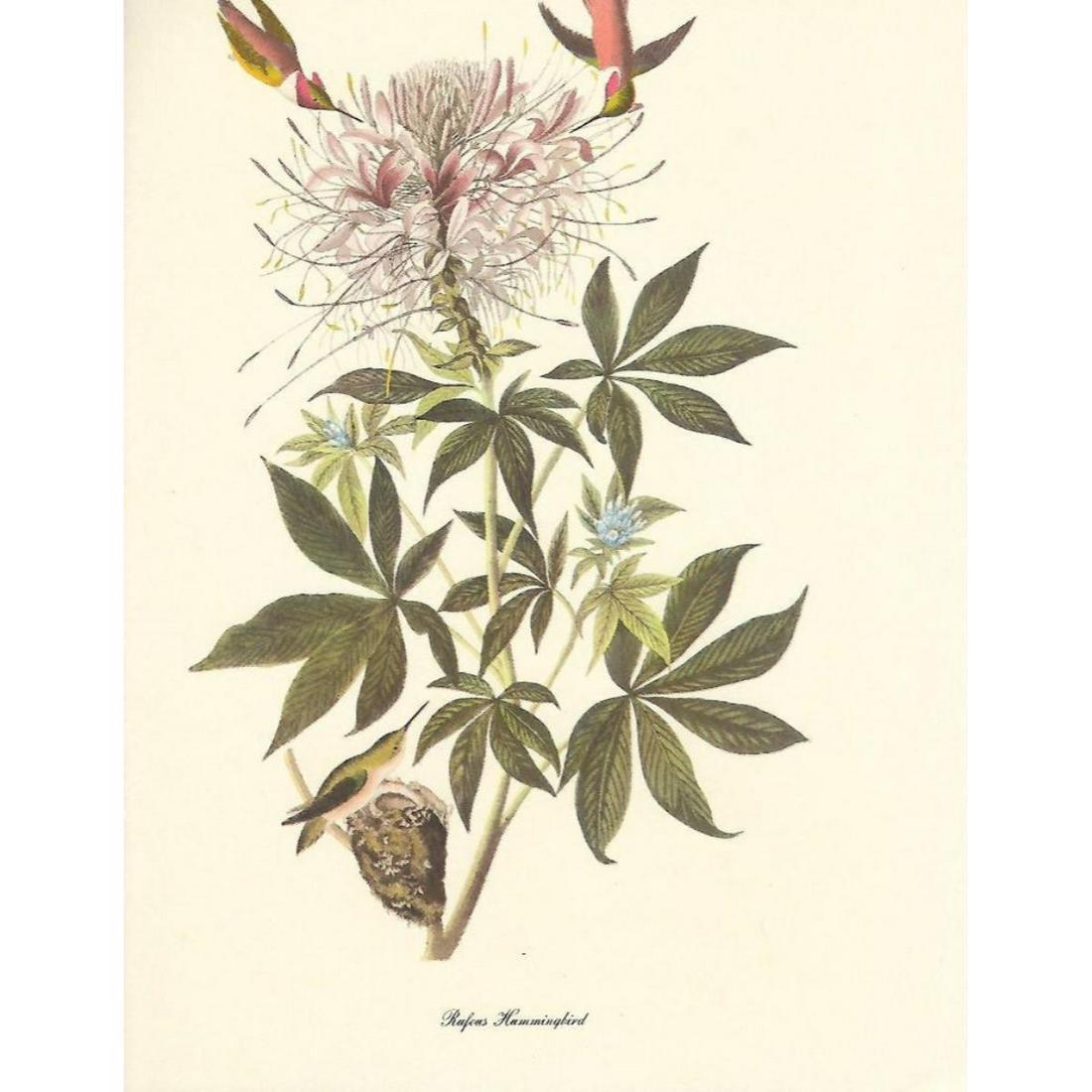 c1950 Audubon Print, Rufus Hummingbird