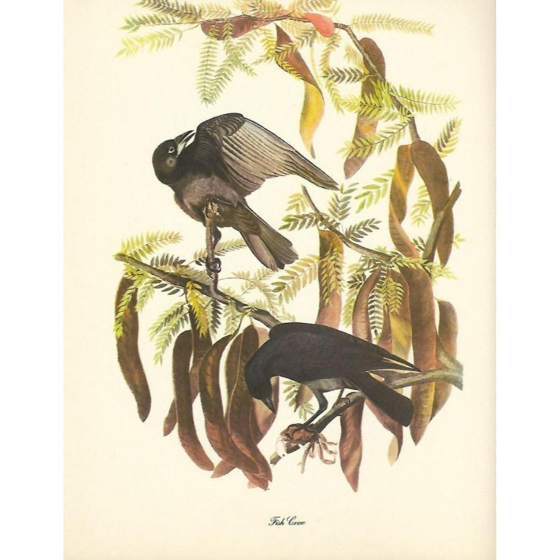c1946 Audubon Print, Fish Crow c1946
