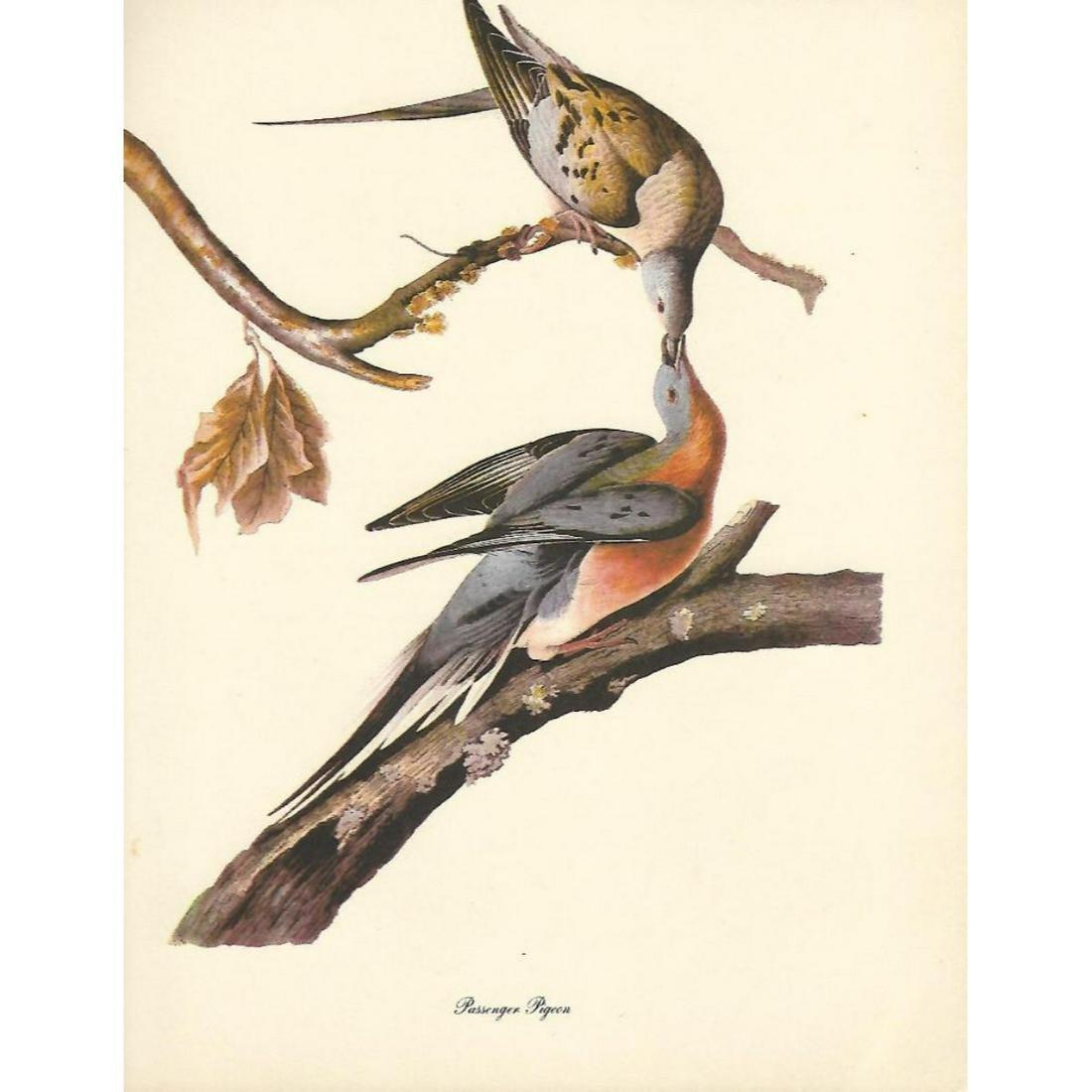 c1950 Audubon Print, Passenger Pigeon