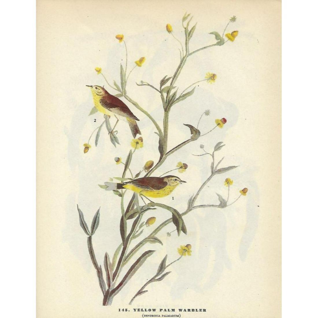 c1946 Audubon Print, Yellow Palm Warbler