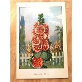 1920's Hollyhock Color Lithograph Print