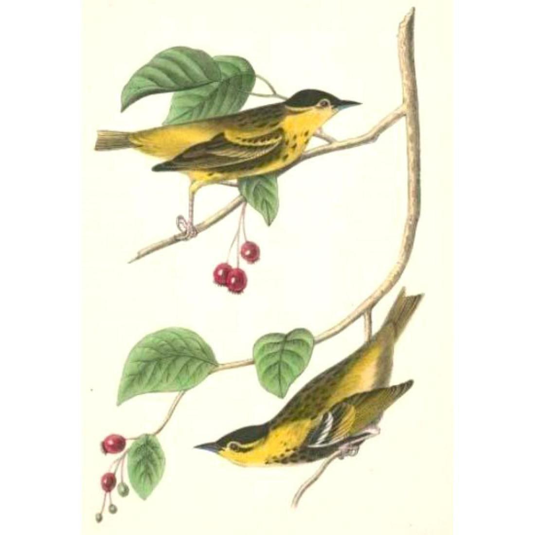 c1946 Audubon Print, #60 Carbonated Warbler