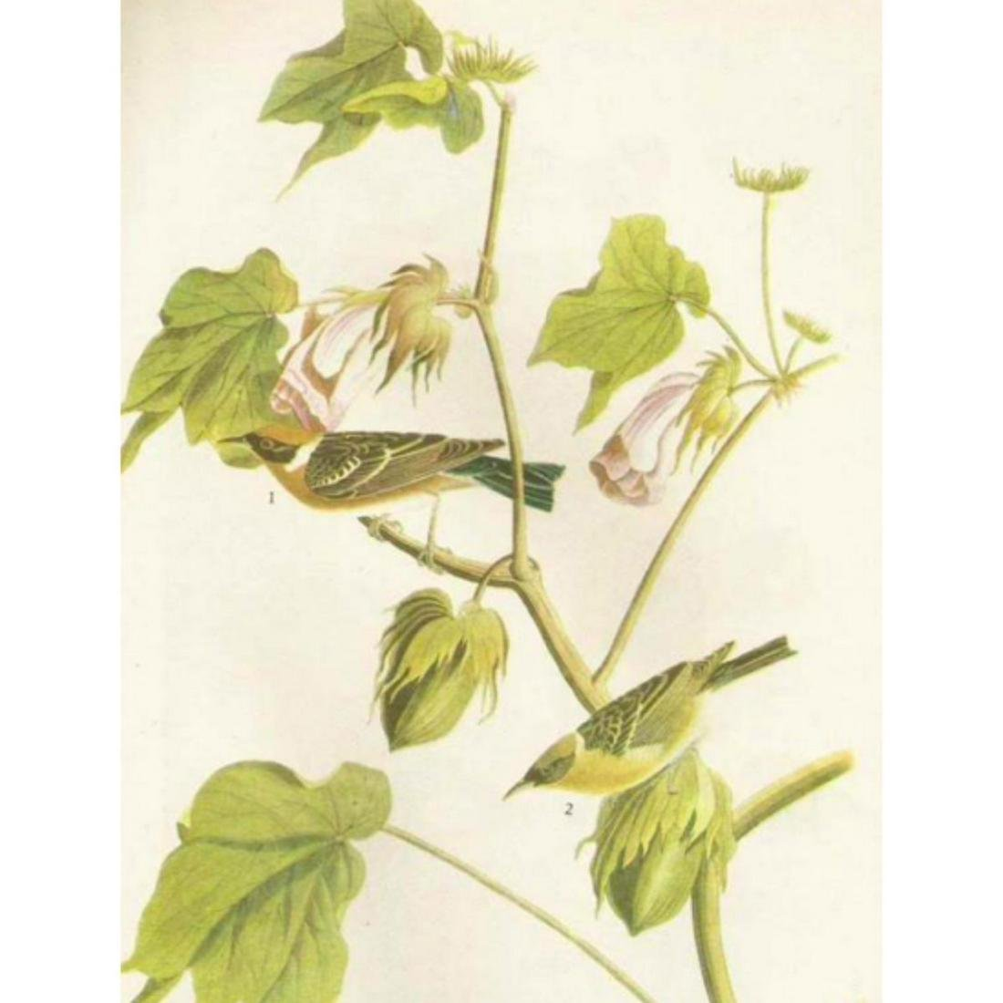 c1946 Audubon Print, #69 Bay-Breasted Warbler