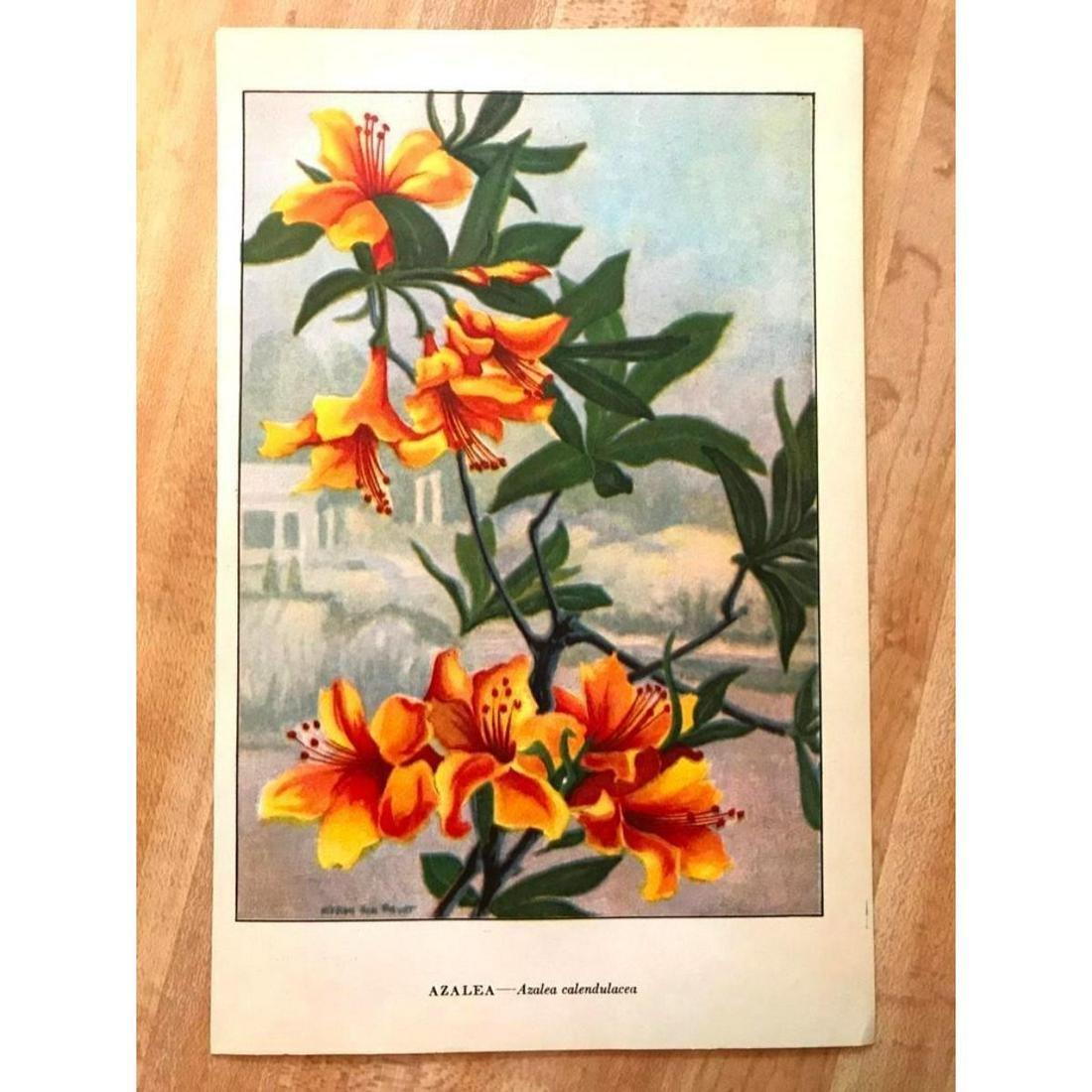 1920's Azalea Color Lithograph Print