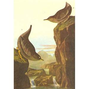 c1946 Audubon Print, #435 Dipper