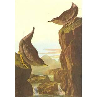 c1946 Audubon Print 435 Dipper