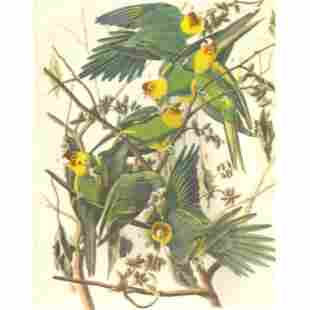 c1946 Audubon Print 26 Carolina Paroquet