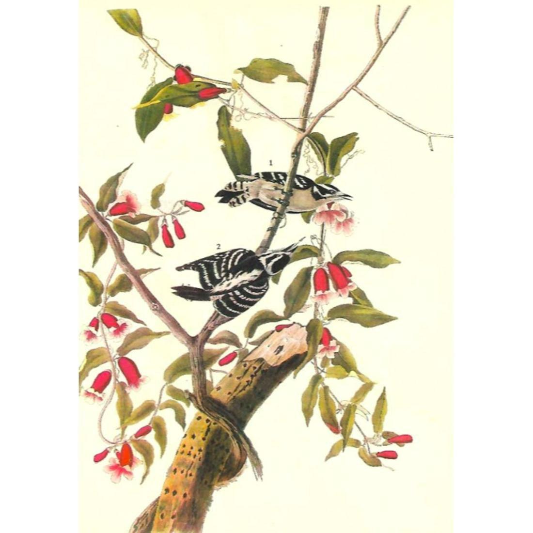 c1946 Audubon Print, #112 Downy Woodpecker