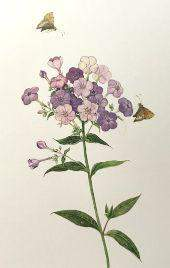 Limited Edition Print Phlox Butterflies