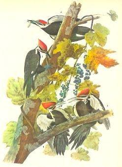 c1946 Audubon Print, #111 Pileated Woodpecker