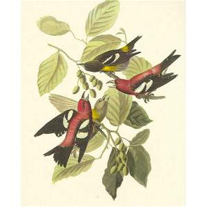 c1950 Audubon Print, White-Winged Crossbill