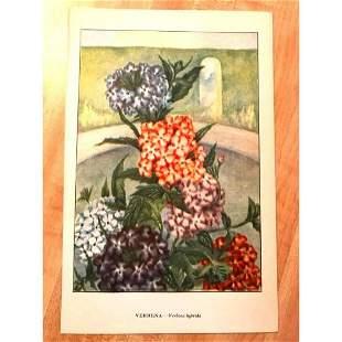 1920s Verbena Color Lithograph Print