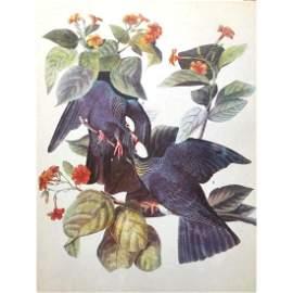 c1946 Audubon Print, #177 White-Crowned Pigeon