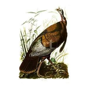 c1946 Audubon Print, #6 Wild Turkey