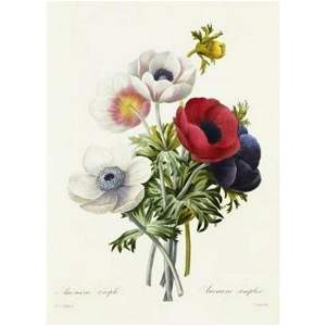 After Pierre-Jospeh Redoute, Floral Print, #7 Anemone