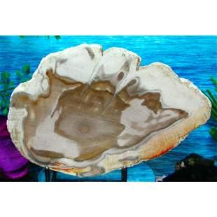 Large Specimen Petrified Wood Slab