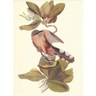 c1950 Audubon Print Mangrove Cuckoo