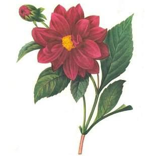 After PierreJospeh Redoute Floral Print 30 Dalhia