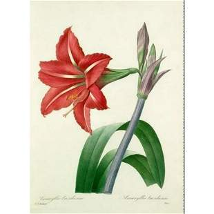 After Pierre-Jospeh Redoute, Floral Print, #4 Amaryllis