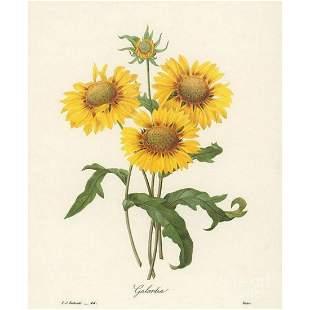 After Pierre-Jospeh Redoute, Floral Print, #44 Galardia