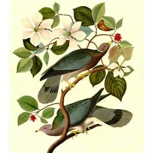 c1946 Audubon Print, #367 Band-Tailed Pigeon