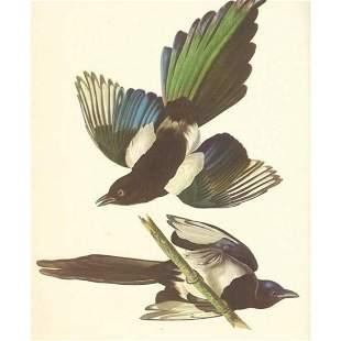 c1950 Audubon Print, American Magpie