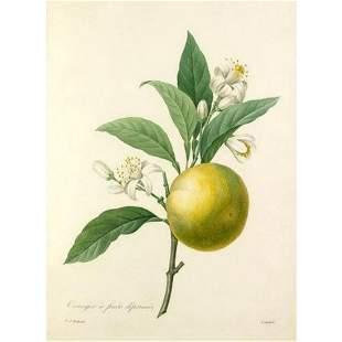 After Pierre-Jospeh Redoute, Floral Print, #89 Oranger